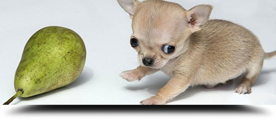 Alimentazione Chihuahua E Cani Di Piccola Taglia